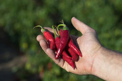 Hand holding some red chili peppers in a vegetable garden. Chili royalty free stock photo