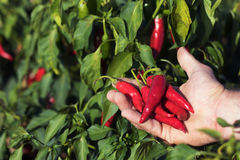 Hand holding some red chili peppers in a vegetable garden. Chili Stock Photography