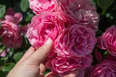 Hand holding  roses in a rose  garden. Hand holding some roses in the rose  garden Royalty Free Stock Image