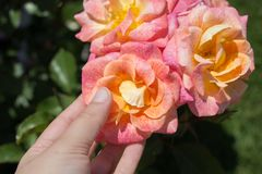 Hand holding  roses in a rose  garden. Hand holding some roses in the rose  garden Stock Photos