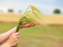 Hand holding spikelet. Royalty Free Stock Photos