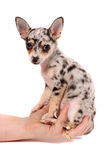 Hand holding spotted chihuahua Royalty Free Stock Photography