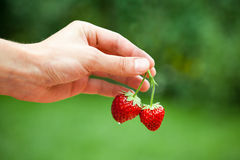 Hand holding strawberries Royalty Free Stock Photography