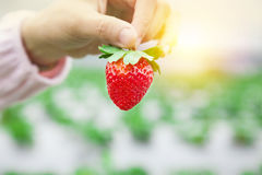 Hand holding strawberry Stock Photo
