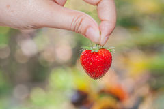 Hand holding a strawberry Royalty Free Stock Images