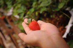 Hand holding strawberry. Hand holding fresh red strawberry Stock Photo