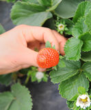 Hand holding strawberry fruit Royalty Free Stock Photography