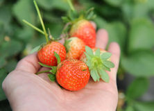 Hand holding strawberry fruit Royalty Free Stock Image