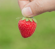 Hand holding strawberry with green background Stock Photo