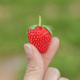 Hand holding strawberry with nature background Royalty Free Stock Images