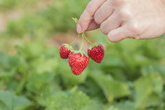 Hand holding strawberry with plant Royalty Free Stock Image