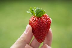 Hand holding a strawberry. Summer fresh berries royalty free stock image