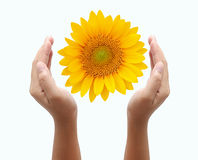 Hand holding sun flower Stock Photography