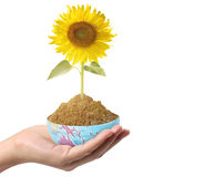 Hand holding sun flower Stock Image
