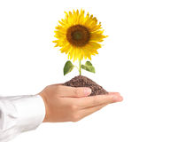 Hand holding sun flower Stock Images