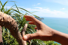 Hand holding a thorny pandanus trees. Hand holding a thorny pandanus trees on a mountain seaviews stock photography