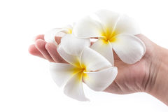 The hand is holding to frangipani flower in spa. The isolated of the hand is holding to frangipani flower in spa on white background Stock Photos