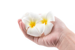The hand is holding to frangipani flower in spa. The isolated of the hand is holding to frangipani flower in spa on white background Royalty Free Stock Image