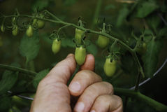 Hand holding tomato. Human hand holding a small green tomato on the vine in a back yard garden Stock Image