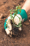 Hand holding a tomato seedling Stock Photos