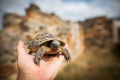 Hand holding a tortoise royalty free stock image