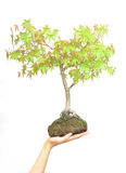 Hand holding tree on white Royalty Free Stock Photography