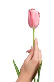 Hand holding tulip Royalty Free Stock Photo