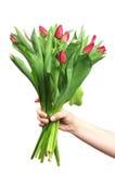 Hand holding tulip flowers Stock Image