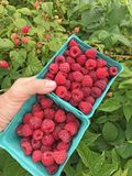 Fresh red ripe raspberries in two baskets. Hand holding two square baskets filled with juicy red ripe raspberries with raspberry bushes in the background Stock Image