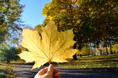 Hand holding up a yellow leaf stock images