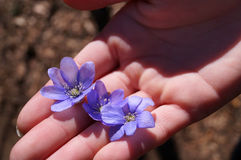 Hand Holding Violets Flowers Royalty Free Stock Photography
