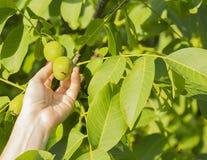 Hand holding walnut Royalty Free Stock Photo