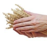 Hand holding wheat Stock Photos