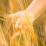Hand holding wheat. Closeup Royalty Free Stock Photos