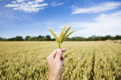 Hand holding wheat ears. Blue sky. Royalty Free Stock Image