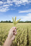 Hand holding wheat ears. Copy space Stock Photography