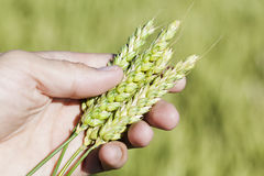 Hand holding wheat ears. Stock Photography