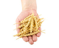 Hand holding wheat ears Stock Photography