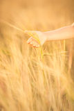 Hand holding wheat in field Stock Photo