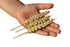 Hand holding wheat grain Royalty Free Stock Photos