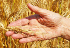 Hand holding wheat stalk Royalty Free Stock Photos