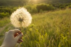 Hand holding white fluffy Dandelion flower in hand, on a green meadow field stock photos