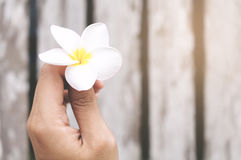 Hand Holding White Frangipani Flower. With Old Wooden Background In Vintage Style Stock Image