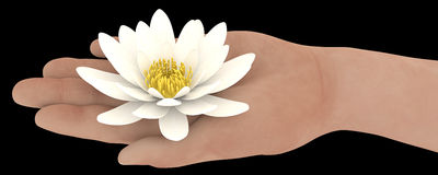 Hand holding white lotus isolated Stock Images