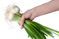 Hand holding white onions with green stalks Royalty Free Stock Image