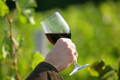 Hand holding wineglass. Man's hand holding a glass of red wine in a vineyard Royalty Free Stock Images