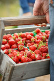 A hand holding a wooden basket full of organic fresh strawberries. Stock Image