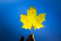 Hand Holding Yellow Autumn Maple Leaf. Against Blue Sky stock photography