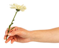 Hand holding yellow chrysanthemum Stock Photos