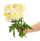 Hand holding yellow chrysanthemums Stock Image